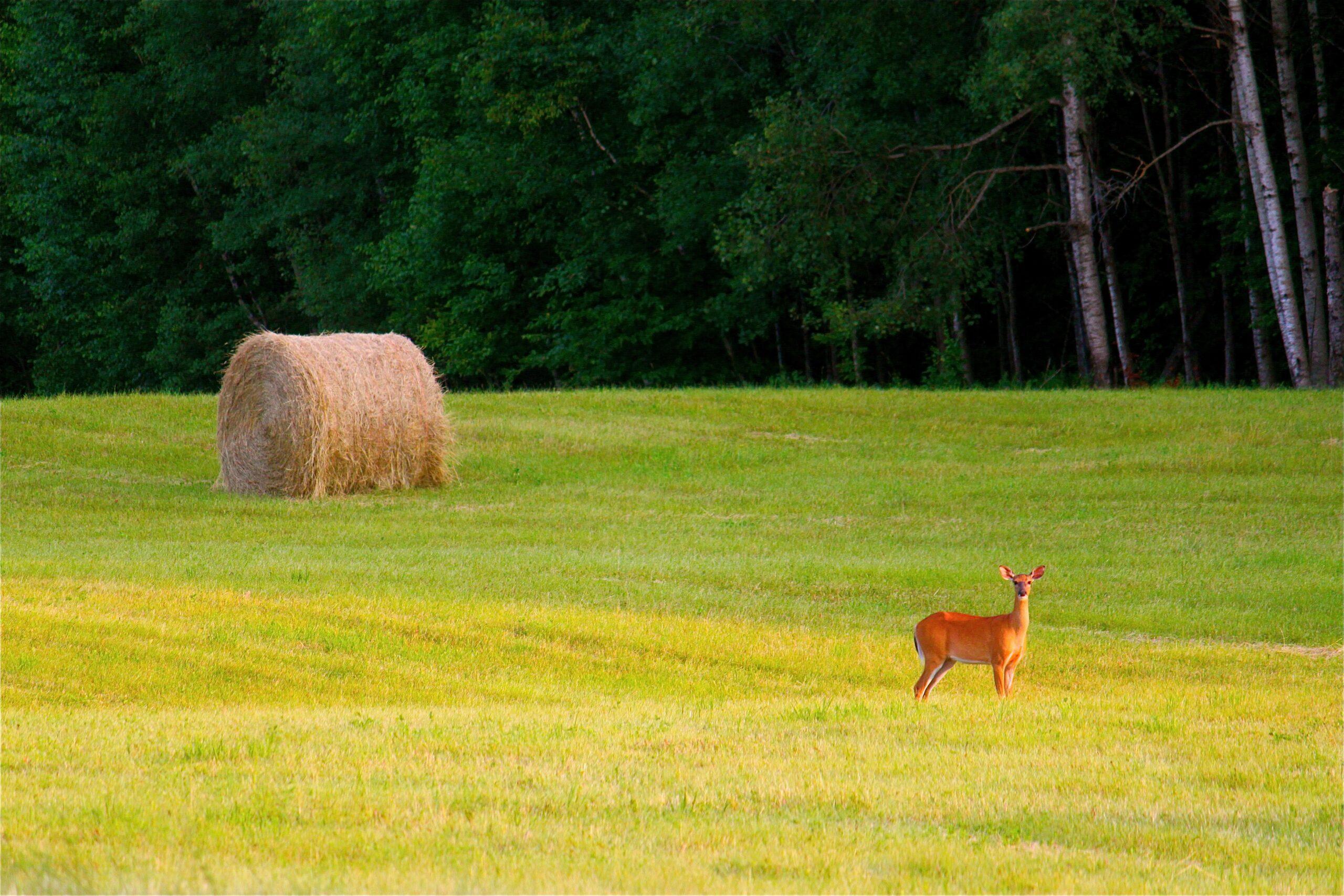 Deer in Field with Hay Bail